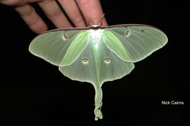 Luna Moth- Nick Cairns